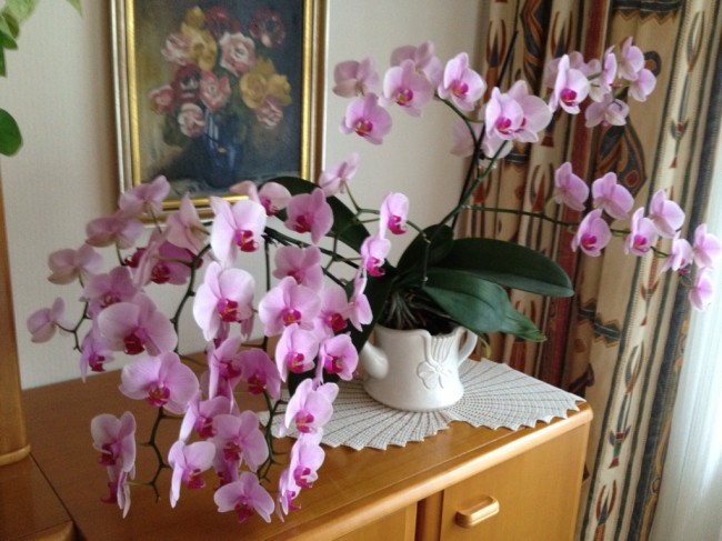 Orchidee mit 65 bl ten mypianeta for Streichholz in blumenerde
