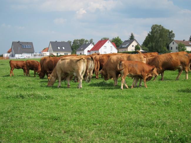 Kühe am grasen