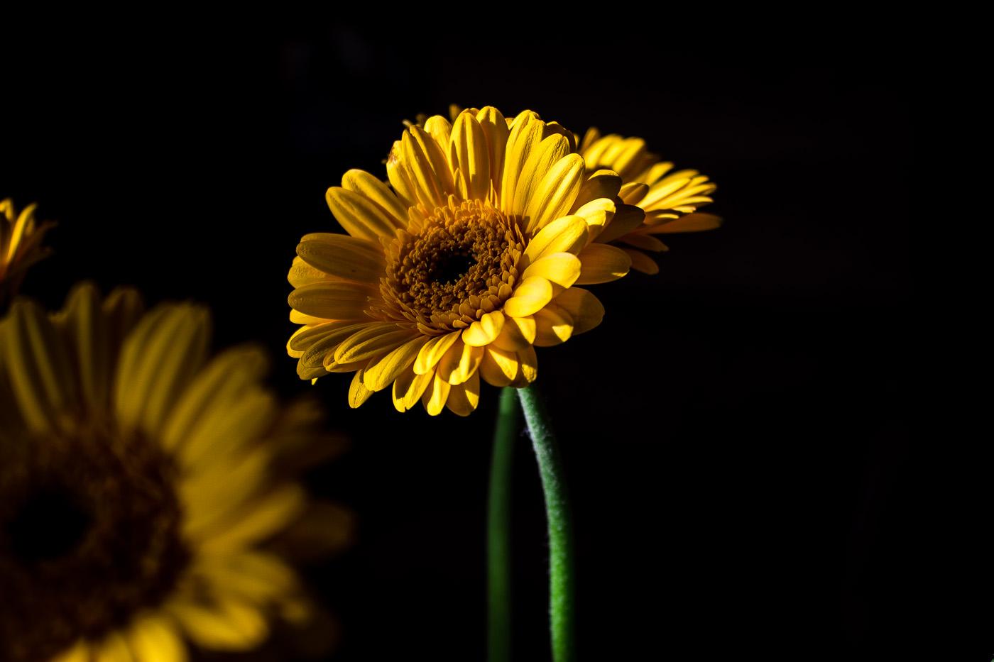 Gerberblume fotografiert mit Canon EOS 600D